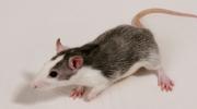 Root.cz: Škodlivost mobilů se ukázala na myších