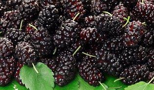 Moruše– zapomenuté ovoce plné zdraví