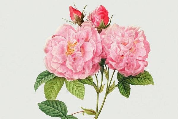 Mathioli píše také o damaškové a muškátové růži. Tvrdí, že její konzumace v počtu tří až čtyř kusů květů před jídlem přivádí stolici.