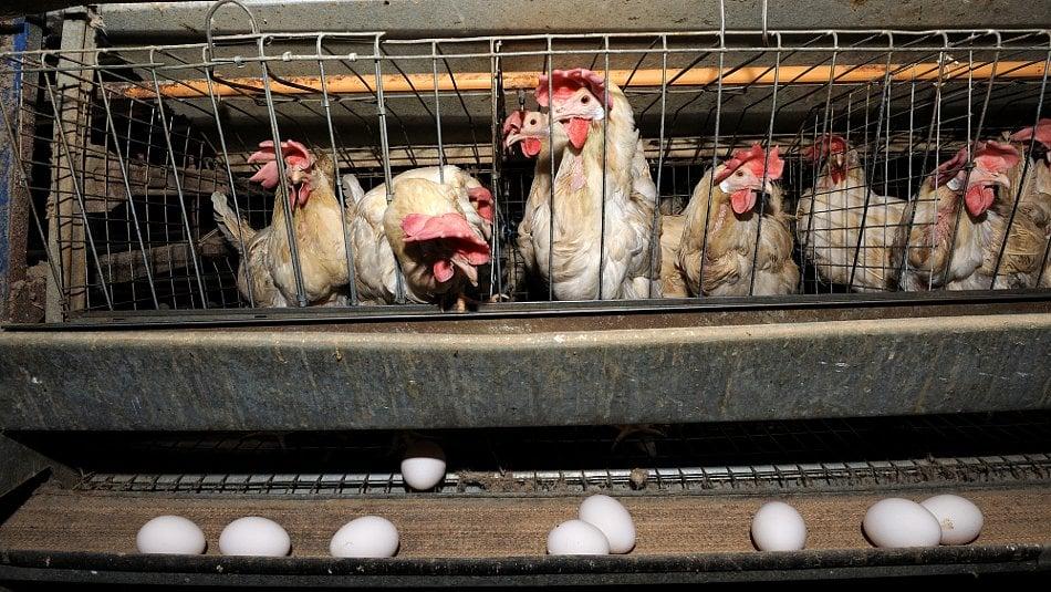 Klecová vejce jsou bezpečnější než ta zpodestýlky, říká odbornice