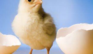 """Životopis mého kuřete: """"život a smrt"""" drůbeže ze dvora"""