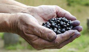 Jak trhat borůvky? Hřebenem, nebo ručně?