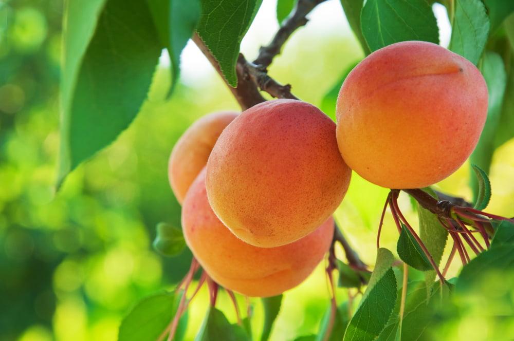 Popraskané ovoce nesmí do obchodů