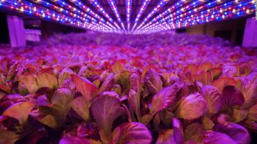 AeroFarms fungují bez slunečního světla s LED osvětlením