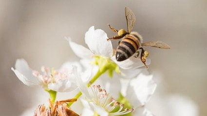 Vitalia.cz: Vyhyneme bez včel? Lidově řečeno, je to blbost