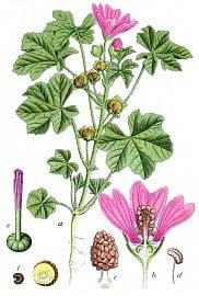Sléz lesní (Malva sylvestris)