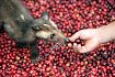 Kopi Luwak - cibetková káva