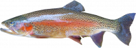 Pstruh lososovitý - ryba, která neexistuje