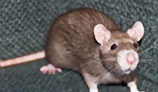 Potkan skáče až dva metry vysoko. A vyleze i do 4. patra