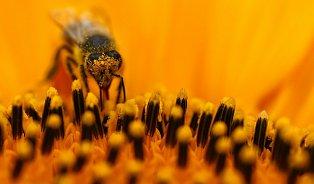 Včelí pyl harmonizuje mužské pohlavní orgány