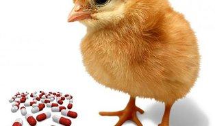 Co zobala polská kuřata? To nezjistíte