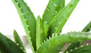 Listy Aloe vera stačí vymačkat