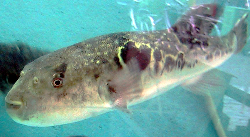 Ryby takifugu (fugu)