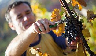 VPraze se dělá víno, které může Morava závidět