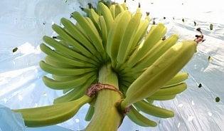 Vitalia.cz: Víte, že banány se pěstují v pytlíku?