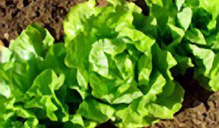 Dusičnanů v listové zelenině se není třeba příliš bát