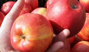 Česká jablka na farmářských trzích