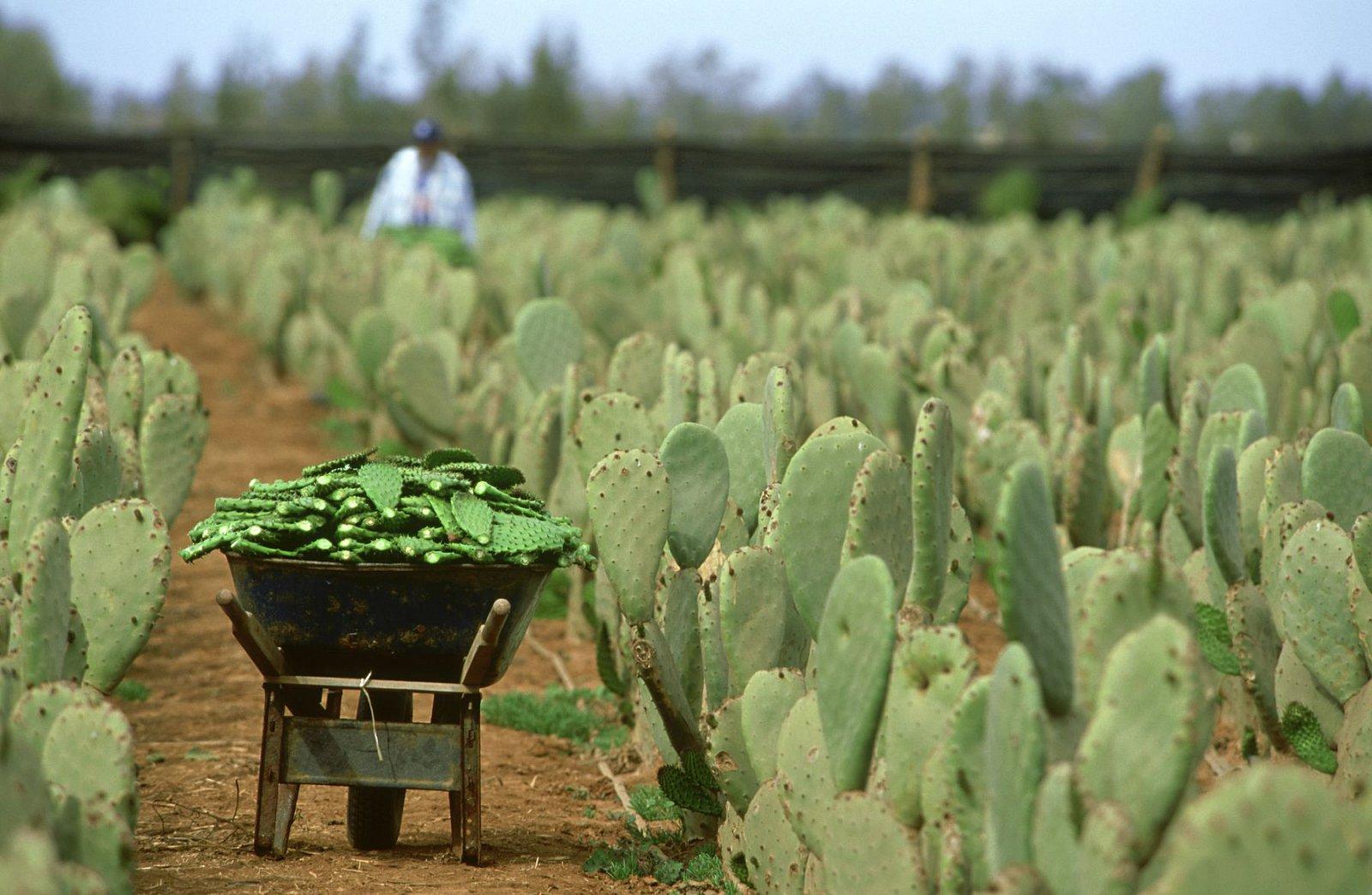 Nopál - zdravý kaktus