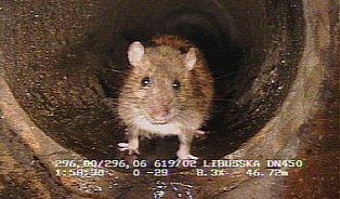 Milion pražských potkanů snědlo letos devět tun pamlsků