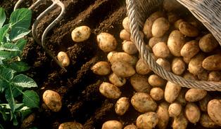 (Bio) brambory ajejich přínos pro naše tělo