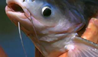 Nejíte kapra? Zkuste jinou rybu!