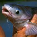 ryba, hlava ryby