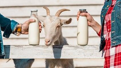 Vitalia.cz: Kozí mléko je zdravé a smrdět nemusí