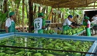 Proč banány zAmeriky stojí míň než česká jablka?