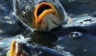 Kapr musí být slizký. Jak poznat zdravou rybu?