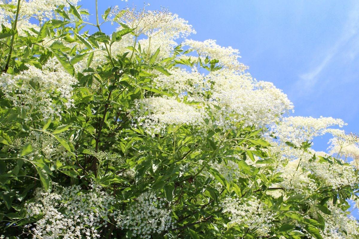 Kosmatice: smažené květy černého bezu