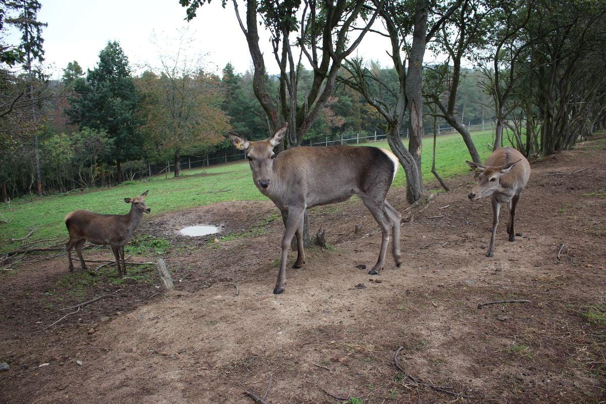 Farmový chov jelenovité zvěře