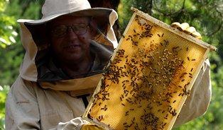 Včelí med zabíjí bakterie třikrát efektivněji než medumělý