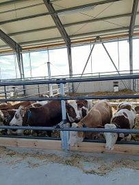 Ilustrační foto. Agronomická fakulta Mendelovy univerzity v Brně testuje chytré obojky pro býky. Farmář díky nim v předstihu pozná, kdy se blíží nějaké zdravotní komplikace, a může tak včas zasáhnout. (07/2020)