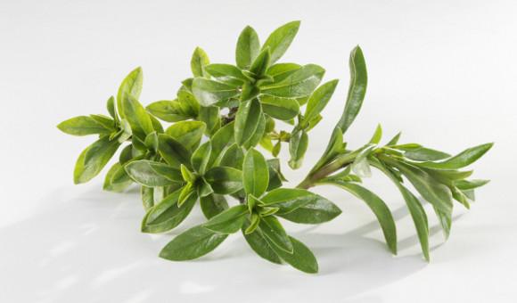 Saturejka je velmi aromatická, pokud to sní přeženete, zbytečně si přebijete chuť pokrmu