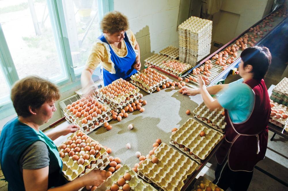 Jak se balí vejce na slepičí farmě