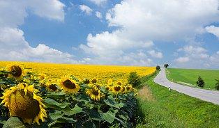 Víte, že ikvěty slunečnice léčí?