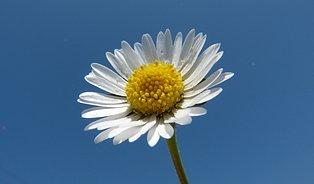 Které jarní květy léčí? Sedmikráska, violka ijabloň