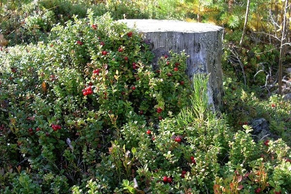 Brusnice brusinka (Vaccinium vitis-idaea L.) - zpracovává se v potravinářství ve formě čerstvé, sušené, v podobě marmelád apod. Brusink jsou u nás poměrně vzácné a chráněné, proto se používají brusinky i jiné brusnice pěstované, nejčastěji z dovozu.