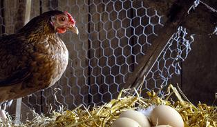 Vajíčková mapa: najděte si nejbližší slepici