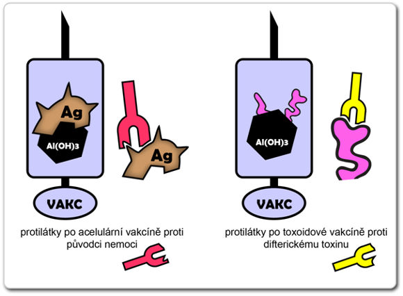 Na obrázku je znázorněn rozdíl ve struktuře protilátek, které se v lidském organismu vytvoří po podání acelulární vakcíny (obsahuje na nosič navázané části původního antigenu) a toxoidové vakcíny (obsahuje na nosič navázané části toxinu)