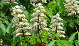 Květy kaštanu se suší nebo nakládají do pálenky