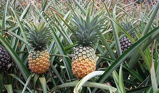 Ananas vkompotu ztrácí sílu