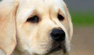 Psi umí čichem odhalit rakovinu