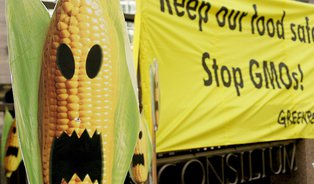Strašák GMO zEvropy pomalu mizí