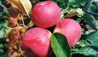 Globus vydával polská jablka za česká, navíc byla plná pesticidů