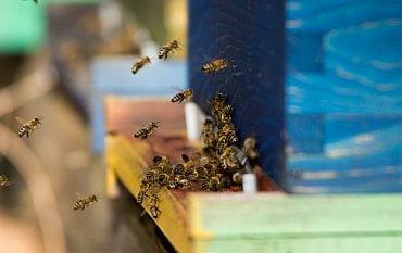 K pesticidům a nebezpečné varroáze ohrožujícím včely dlouhodobě se v letošním roce přidaly výkyvy počasí. Včelstva v ČR se proto v létě potýkala s nedostatkem potravy.