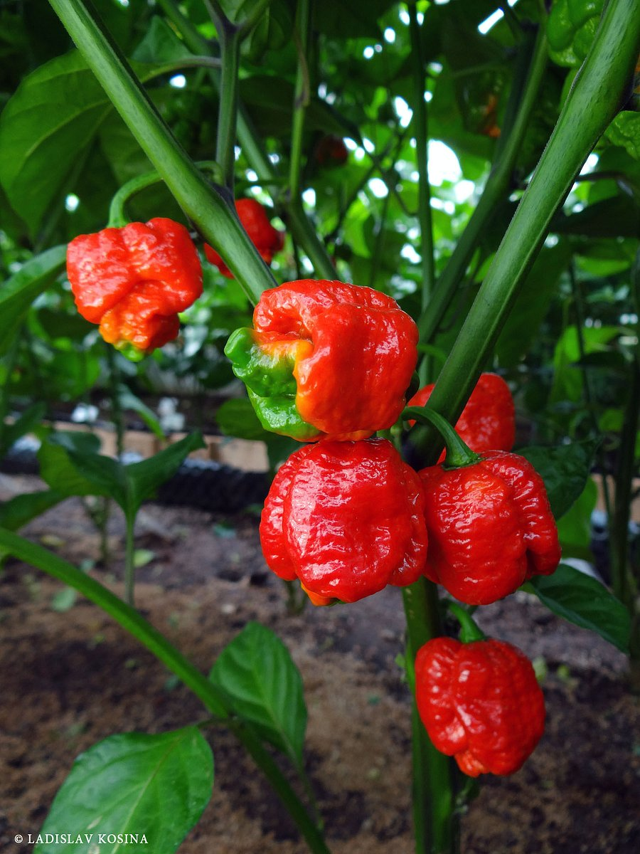 Chilli papričky pro všechny