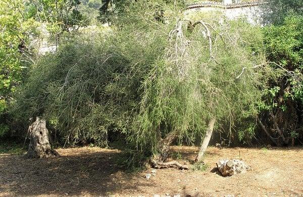 Tea tree oil se získává lisováním z listů tzv. čajovníkového stromu - kajeputu střídavolistého