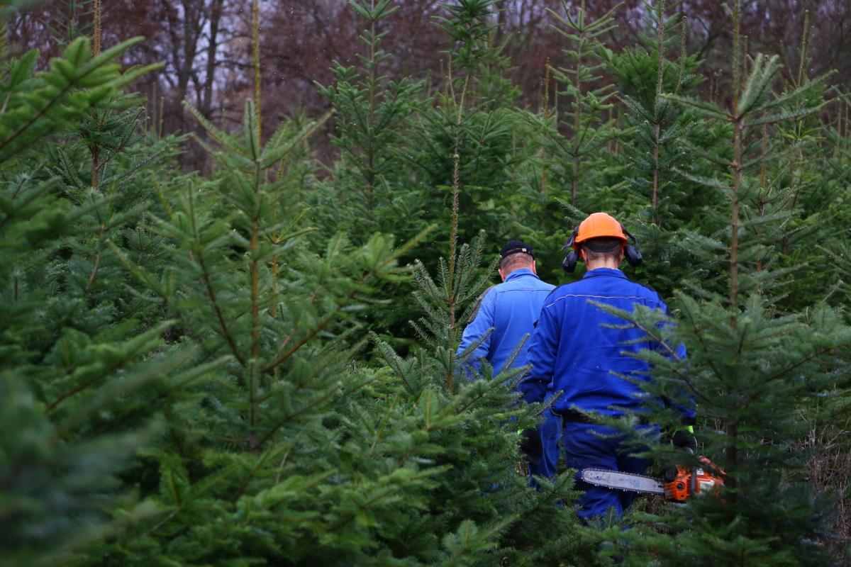 Řez vánočních stromků je fyzicky náročný. Plantáže se probírají.