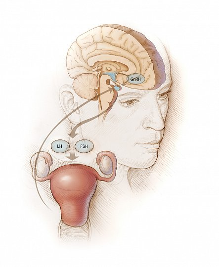 Menstruaci řídí mozek  Žena menstruovat vůbec nemusí